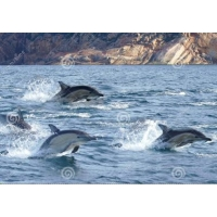 Tuindoek dolfijnen (1080)